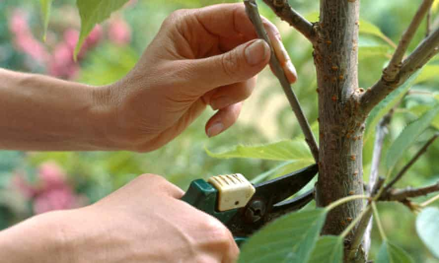 Using secateurs to remove young branches from a tree, close-up