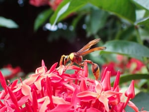 Ahmedabad, India: A red wasp pollinates a flower