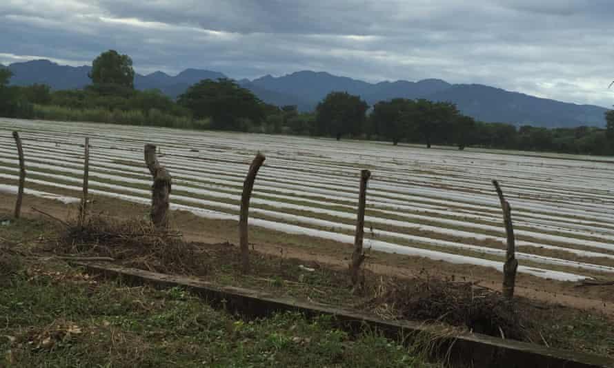 A melon plantation in Honduras