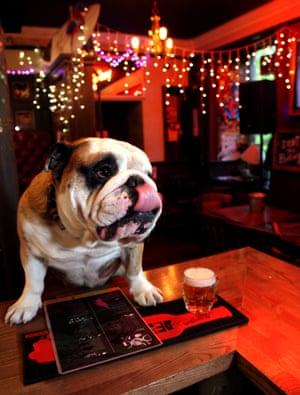 Hero the bulldog
