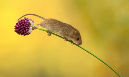 Mice are distressed when another mouse suffers, especially one they know.