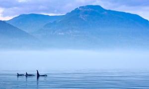 Killer wales at Vancouver Island