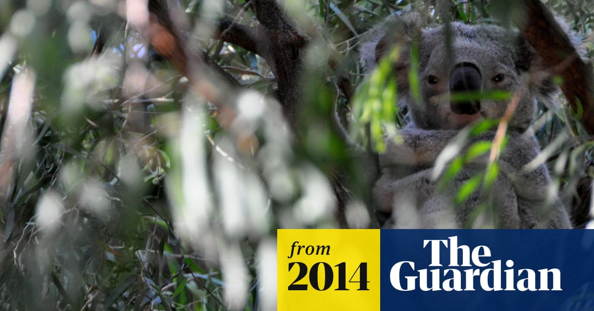 Koalas face extinction without stronger protection, say