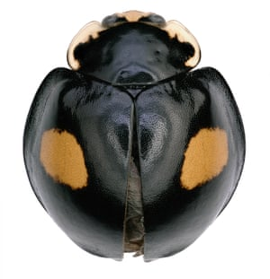 Halloween ladybug (Harmonia axyridis), discovered as part of the BioScan project at the Natural History Museum in LA county