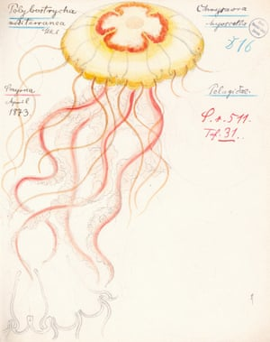 Chrysaora hysoscella, also known as the compass jellyfish