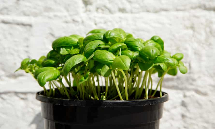 Pot of basil against white wall