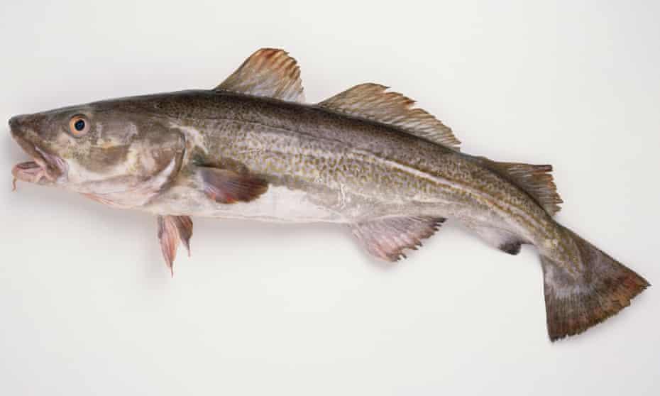 A freshly caught Atlantic cod
