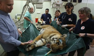 A tiger that was evacuated from a zoo in Khan Yunis is carried by members of Four Paws.