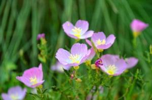 Pink evening primrose in bloom near Austin