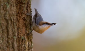 a brown headed nuthatch perched vertically on a tree trunk