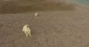 A protective mother polar bear rears up on her hind legs to get a better look at a drone camera on Somerset Island, Canada