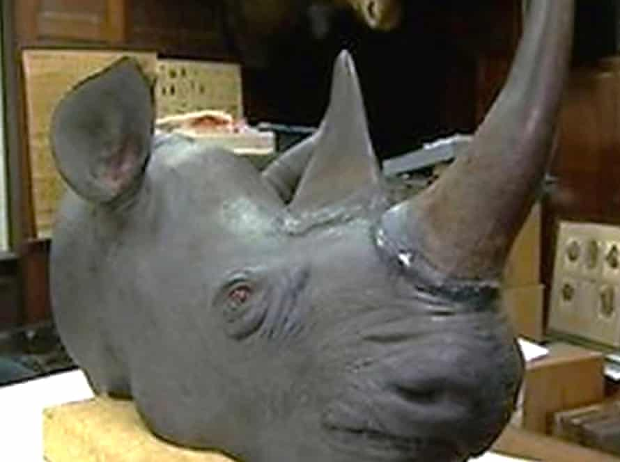 The rhino head which a thief attempted to steal from the Castle Museum in Norwich.