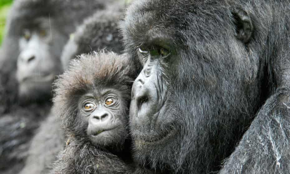 gorilla and infant, congo