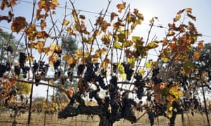 Cabernet Sauvignon grapes left unpicked hang in a vineyard along Highway 128 in Geyserville, California, in November 2019.