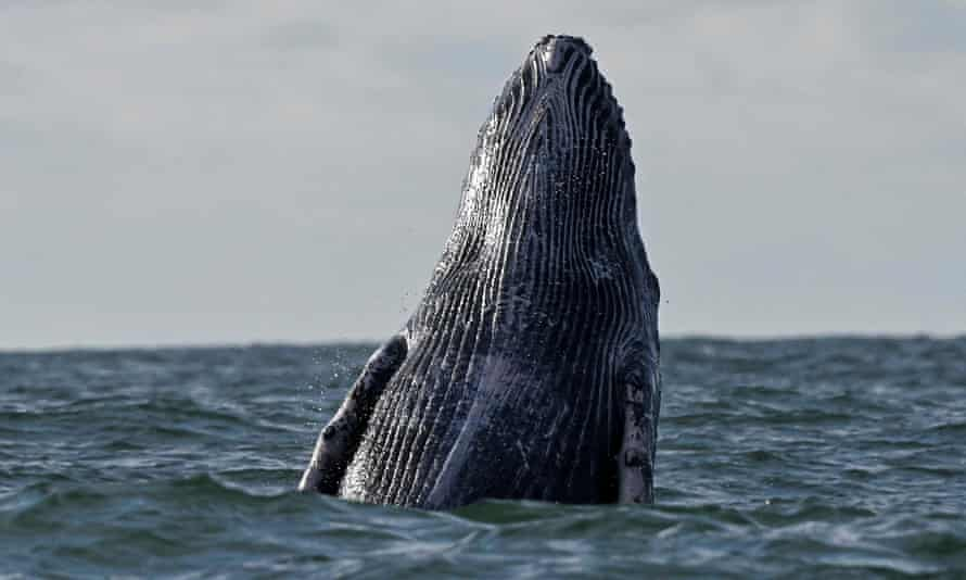 A humpback whale in the Pacific Ocean off the coast of Colombia