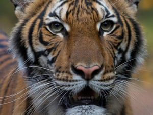Nadia, a 4-year-old female Malayan tiger at the Bronx Zoo, that the zoo said on 5 April 2020 has tested positive for coronavirus.