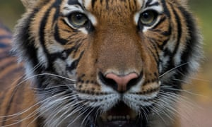 The four-year-old Malayan tiger at the Bronx zoo, Nadia, tested positive to coronavirus, but is said to have mild symptoms and expected to recover.