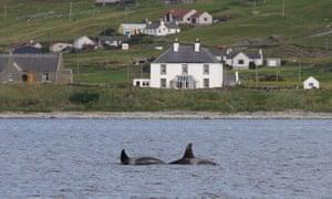 Orcas at Mousa Sound, Shetland