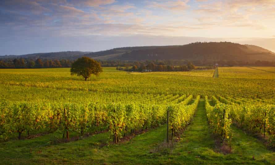 Château Surrey: first light over an English vineyard.