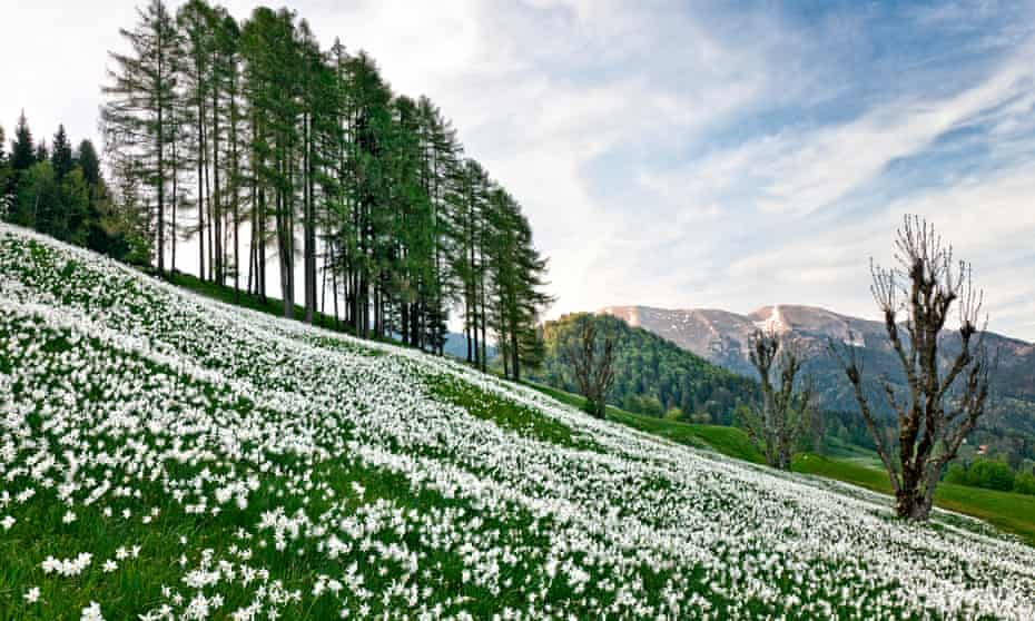 White daffodils in Slovenia.