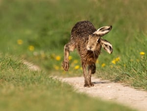 A brown hare in Oxfordshire