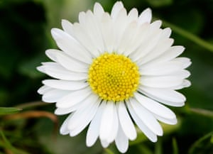 in praise of the daisy life and style the guardian