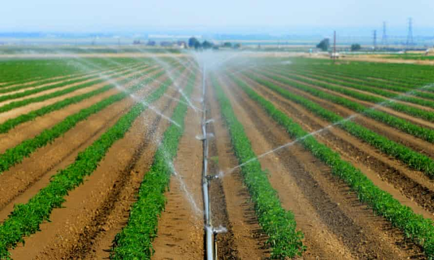 Tomato plants grow near Bakersfield, California. Darpa says bugs will be used to spread a virus to plants including corn and tomatoes, which will then impart beneficial genes making the plants resistant to disease or drought.