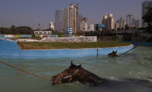Mumbai, India Racehorses swim after a training session ahead of the prestigious Indian Derby, which will be held on Sunday