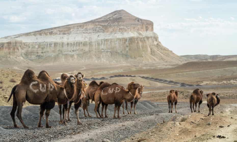 Camels in Kazakhstan, Mangystau province.
