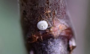 A tiny white egg laid by a brown hairstreak butterfly