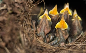 Robin chicks wait for food in their nest in Hanover, Germany