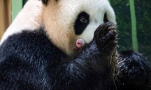 Huan Huan with one of her twin cubs born at Beauval zoo in Saint-Aignan-sur-Cher, France