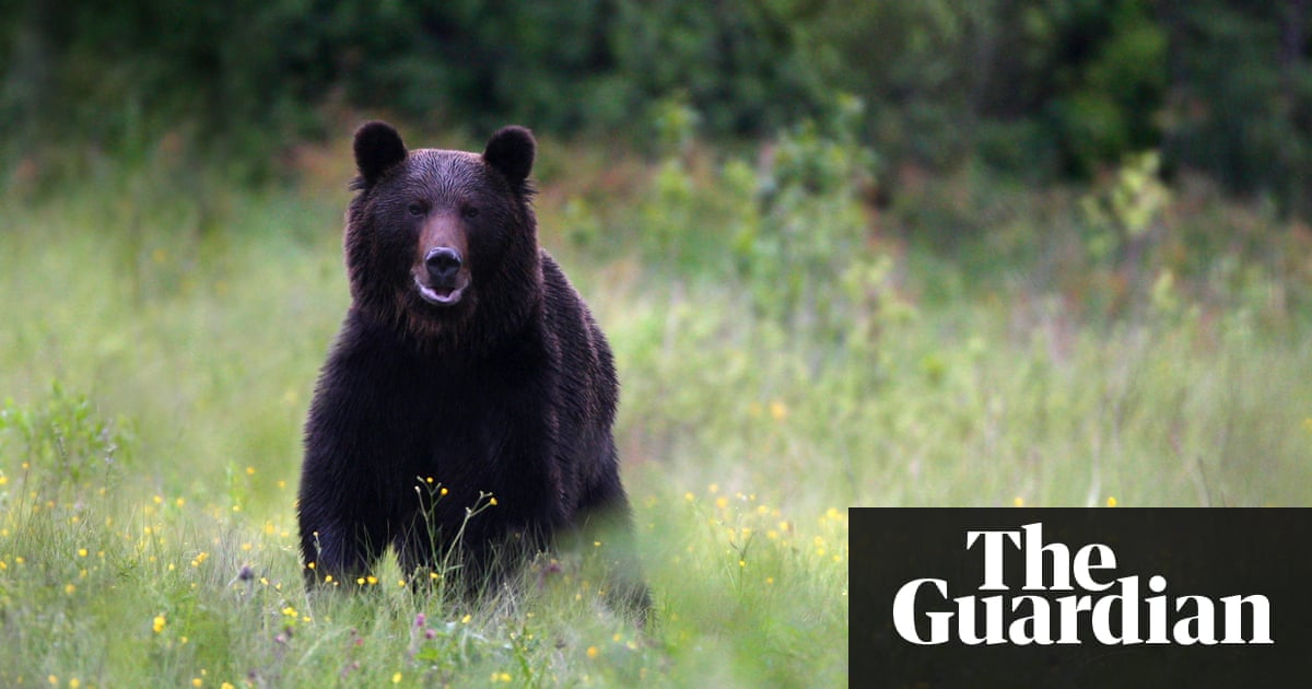 How the brown bear became public enemy number one in rural romania more than 6000 brown bears are believed to live in romania publicscrutiny Choice Image