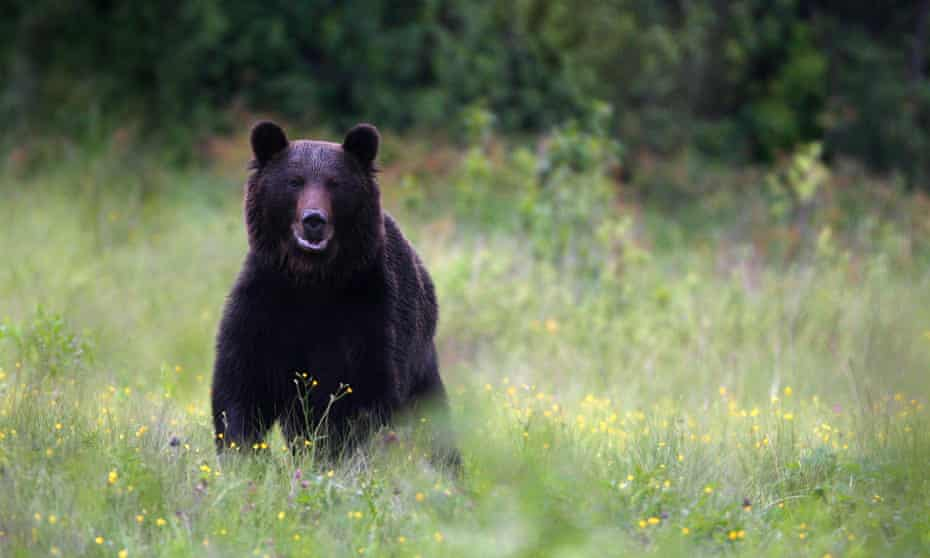 More than 6,000 brown bears are believed to live in Romania.