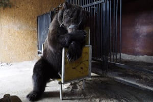 A circus bear that used to perform in Russian State Circus, in a cage built by animal tamer Pavel Kudrya at his house in Volgograd Oblast, Russia