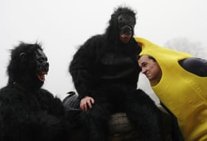 A banana and a bunch of gorillas chat about darts