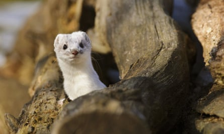 A stoat, in white winter coat, peering out of a woodpile.