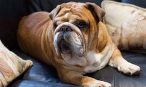 Bulldog inglese e appassionato di cannabis della zona Max Daddy.