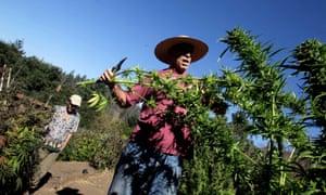 A California marijuana farmer cuts branches from a plant