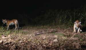 Two young tiger cubs are photographed by a camera trap in eastern Thailand