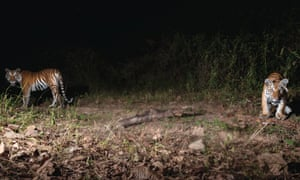 The photographs have raised hopes for the endangered tiger which was feared to have almost been wiped out by hunting, poaching and trafficking.