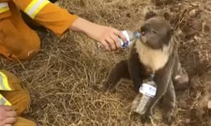 A koala drinks water from a firefighter in Cudlee Creek after being rescued