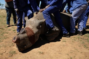 Workers hold a sedated black rhino down after its horn has been trimmed