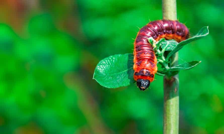 Goat moth (Cossus cossus) caterpillar.
