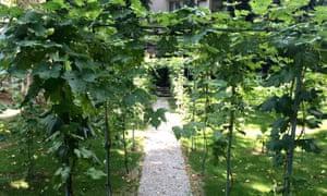 The type of white grape grown in Leonardo's vineyard was the malvasia di candia aromatica