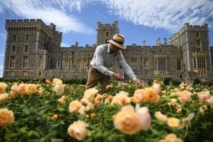 Windsor: A royal gardener prunes the roses in the East Terrace Garden at Windsor Castle