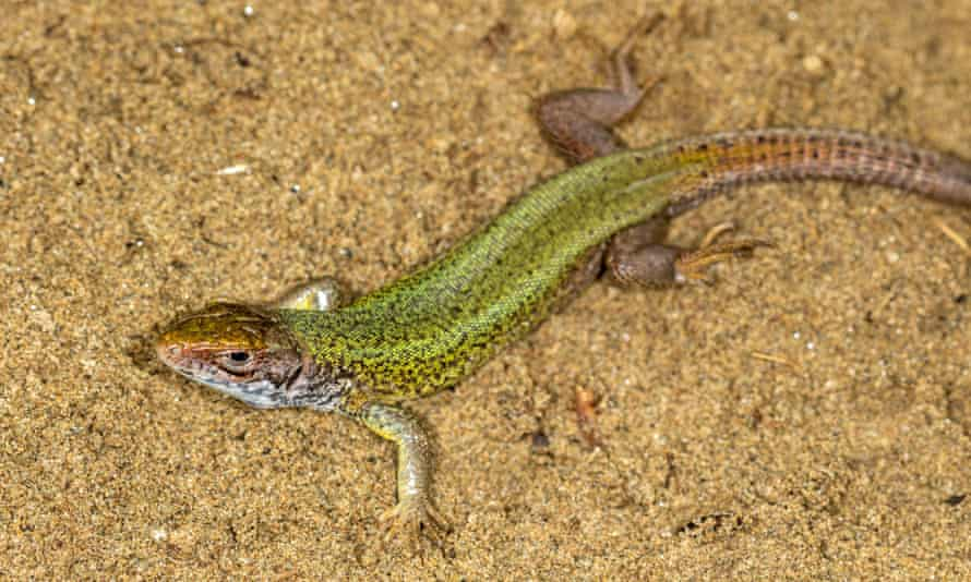 The European green lizard
