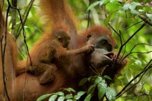 Orangutans in Gulung Palung national park