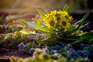 A ragwort blooms on the shore of the Sea of Okhotsk, Russia.