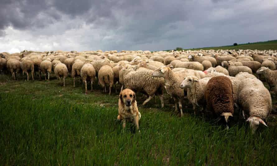 Un mastín español observa un rebaño de ovejas.